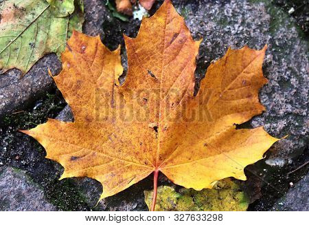 Detailed Close Up View On Colorful Maple Leaves In Autumn