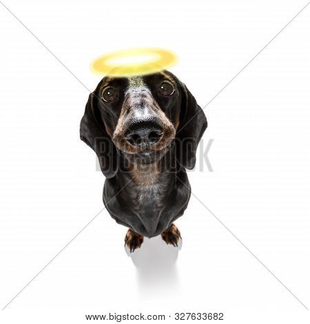 Dachshund Sausage Dog With Guilty Conscience  With Angel Halo On The Head , Isolated On White Backgr