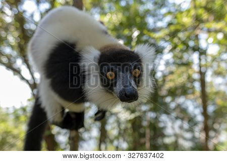 Black-and-white Ruffed Lemur (varecia Variegata).endemic Madagascar. Wild Nature.
