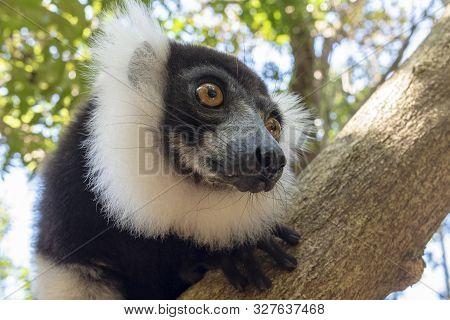 Black-and-white Ruffed Lemur (varecia Variegata).endemic Madagascar . Portrait
