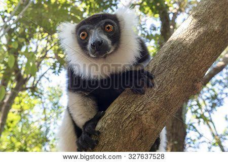Black-and-white Ruffed Lemur (varecia Variegata).endemic Madagascar. Portrait