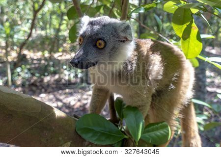 Red Fronted Brown Lemur ( Eulemur Rufifrons ). Madagascar, Close Up