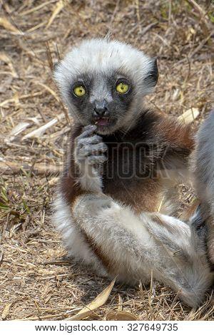 Crowned Sifaka Lemur ( Propithecus Coronatus ),young Baby. Portrait.madagascar - Wild Nature.