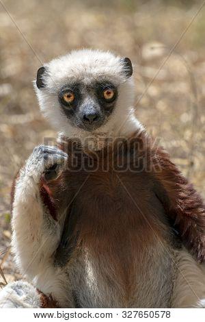Crowned Sifaka Lemur ( Propithecus Coronatus ), Portrait.close Up, Detail