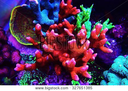 Montipora Sps Coral In Coral Reef Aquarium Tank