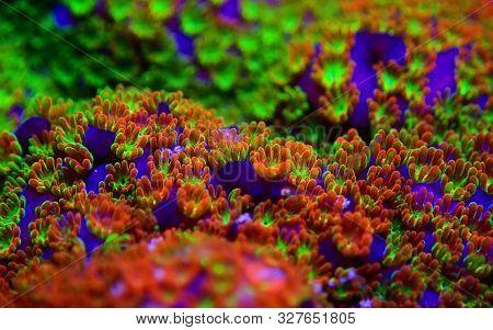 Montipora Rainbow Macro Polyps - Rare And Very Beautiful Sps Coral.