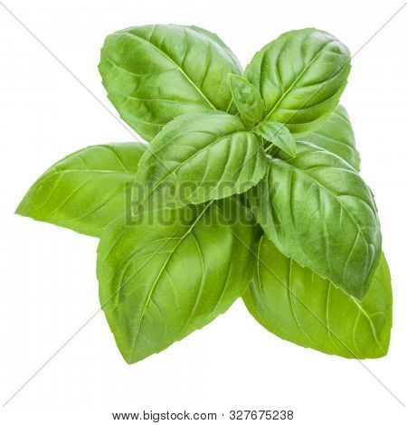 Fresh sweet Genovese basil leaves isolated over white background cutout..