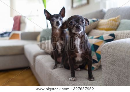 Beautiful and cute little chihuahuas sitting on the sofa at home