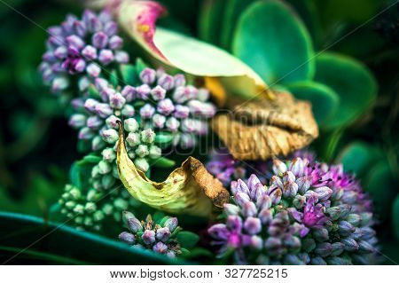 Showy Stonecrop Flower Violet Buds, Dried Yellow Leaves Of Garden Plants. Also Called Ice Plant And