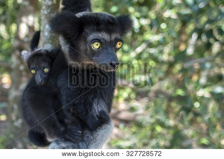 Beautiful Image Of The Indri Lemur - Indri Indri. Together With The Baby.wild Nature Madagascar.