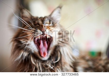 Maine Coon Cat, Close Up. Funny, Cute Cat With Marble Fur Color. Largest Domesticated Breeds Of Feli