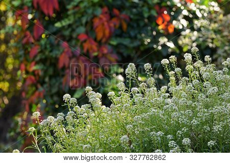 Sweet Alyssum Snow Cloth In Autumn Time