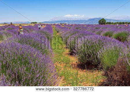 Unrecognizable People In Lavender Field With Hill View Background.