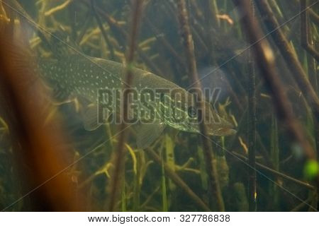 Underwater shot of the Northern pike fish (Esox lucius) hiding in the reed
