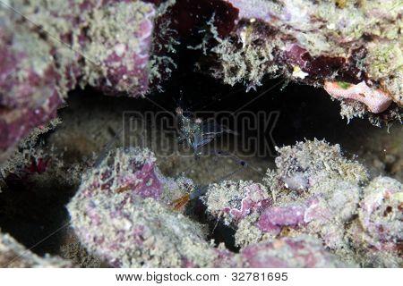 Cave cleaner shrimp (urocaridella sp.) in the Red Sea.