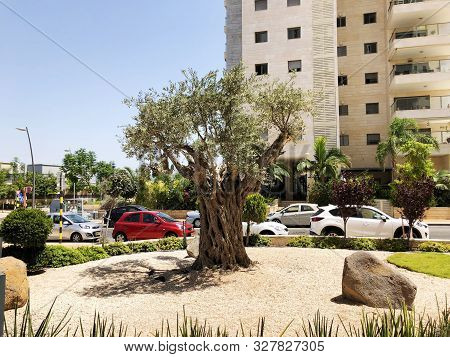 Rishon Le Zion, Israel  October 07, 2019: Residential Buildings Olive Tree  In Rishon Le Zion, Israe
