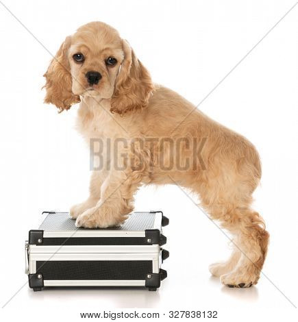 American cocker spaniel puppy standing on a suitcase or briefcase isolated on white background