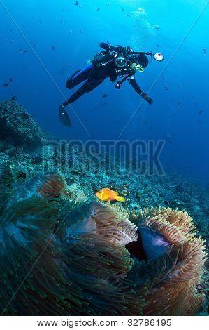 Diver Over Anemone With Maldivian Clown, Maldives