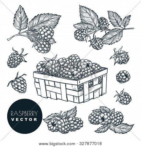 Raspberry Berries Sketch Vector Illustration. Blackberry Harvest In Wooden Basket. Hand Drawn Agricu