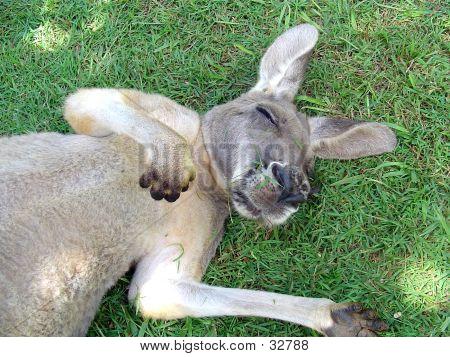 Kangaroo Snooze
