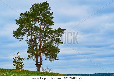 One Big Pine Tree Next To One Small Shrub Against The Empty Blue Sky With The Horizon