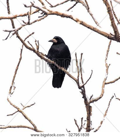 Black Raven On Tree Branches Isolated On A White Background.