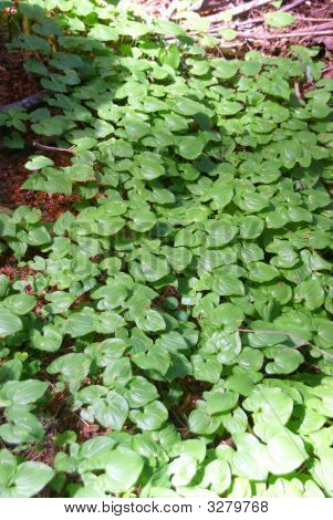 Ground Cover On Forest Floor