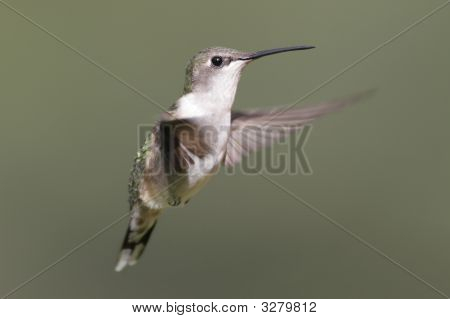 Female Ruby-throated Hummingbird (archilochus colubris) in flight with a green background poster