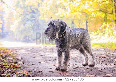 Miniature Schnauzer Dog For A Walk In The Autumn Park. Dog With A Haircut For A Walk. . Dog On A Wal
