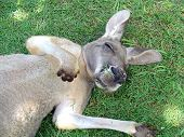 snoozing kangaroo lying on fresh green grass. poster