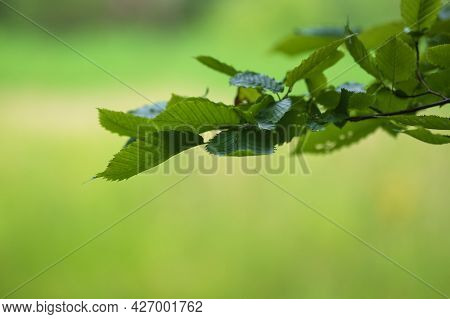 Branch With Green Leaves Of The Aspen Tree. The Background Is Green.