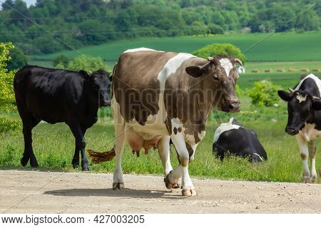 Cows Go From The Pasture On A Summer Day In The Countryside
