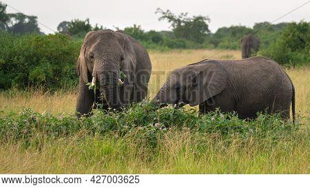African Elephant (loxodonta Africana), Queen Elizabeth National Park, Uganda