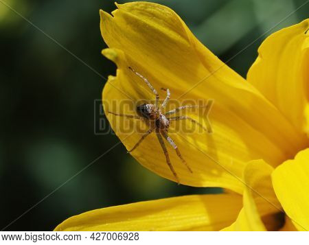 A Tiny Spider On A Yellow Flower Petal. Macrophoto.