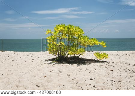 A Small Malabar Almond Or Terminalia Catappa Growing On The White Sands Of Kerachut Beach Located In