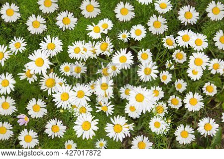 Field White Daisies (latin Matricária) On A Background Of Green Grass On A Clear Sunny Day. Nature F