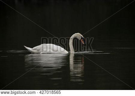 Stunningly Beautiful Mute Swan Bird Cygnus Olor Gliding Along Surface Of Lake