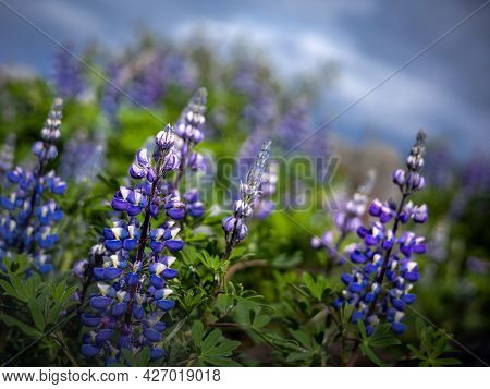 Close Up Of A Purple Lupine Flowers, Lupinus Polyphyllus, Blurred Background. Iceland.