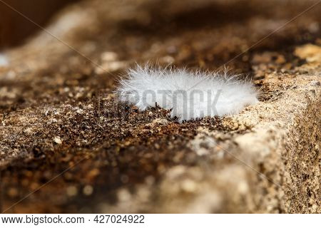 Small Patch Of Fluffy White Cave Mold Or Efflorescence In A Basement - Close-up Macro Photo