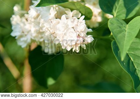 White Lilac Shrub Flowers Blooming In Spring Garden. Common Lilac Syringa Vulgaris Bush. Close-up Wi