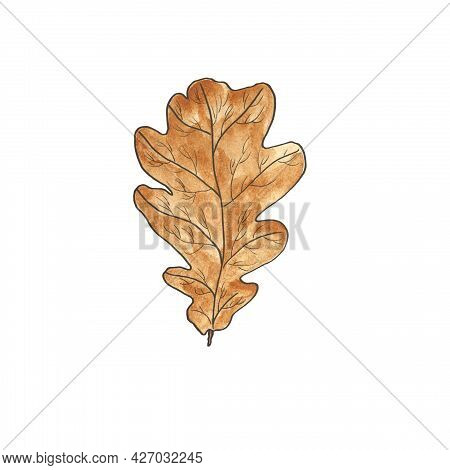 Oak Leaf, Light Brown, Autumnal, Isolated On White Background. Leaf Fall. Natural Design Element. Wa
