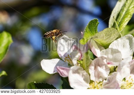 Bee And Flower. Close Up Of A Large Striped Bee Collecting Pollen On Flower On A Sunny Bright Day. I