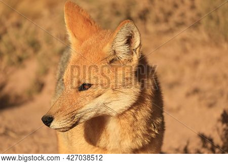 Closeup An Adorable Andean Fox Or Zorro Culpeo Found At The Chilean Altiplano In Northern Chile, Sou