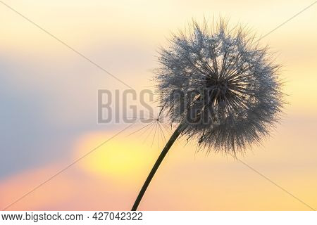 Silhouette Of A Dandelion Flower In The Backlight With Drops Of Morning Dew. Nature And Floral Botan
