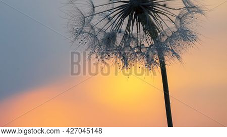 Dandelion Flower In Backlight With Drops Of Morning Dew. Nature And Floral Botany