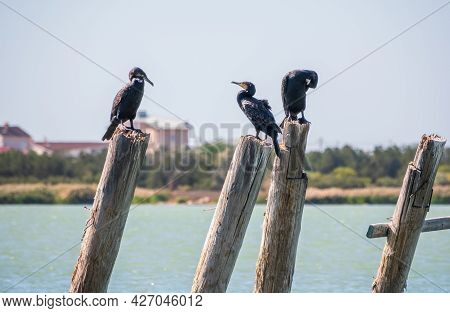 A Flock Of Cormorants Sits On A Old Sea Pier