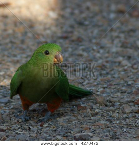 King Parrot Female