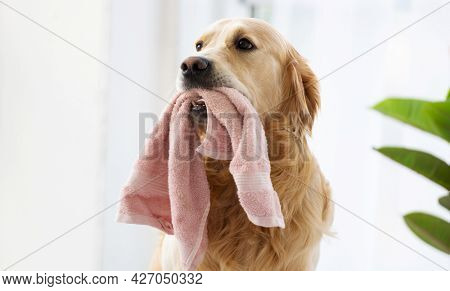 Golden retriever dog sitting in the room with daylight close to window, holding pink towel in his teeth and posing. Purebred pet doggy indoors portrait