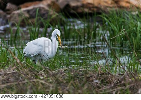 Great egret with catched fish standing  in ocean water