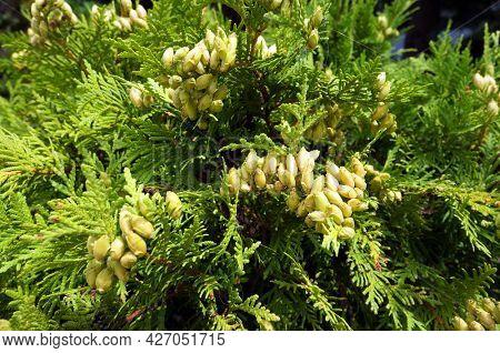 Evergreen conifer tree Thuja Arborvitae.